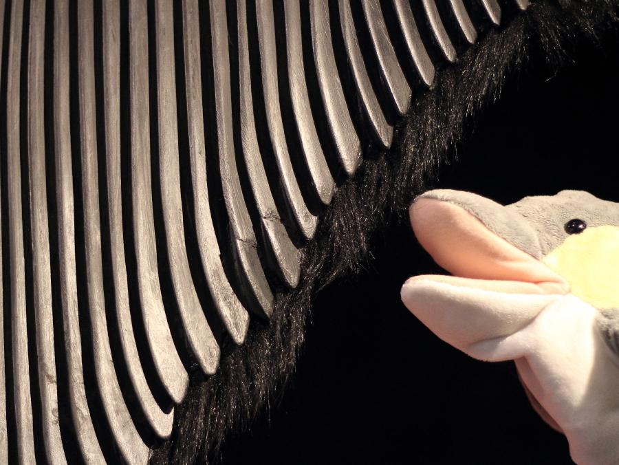 Barten eines großen Wals (Foto: Rüdiger Hengl)