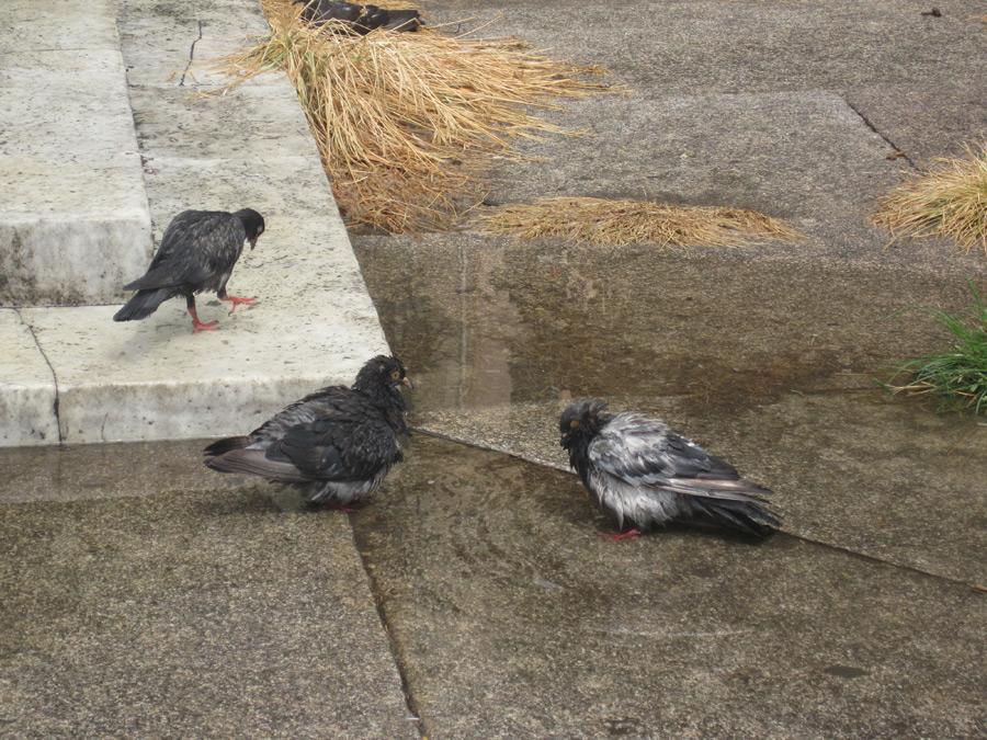 Tauben sind sehr schlau. (Foto: Susanne Gugeler)