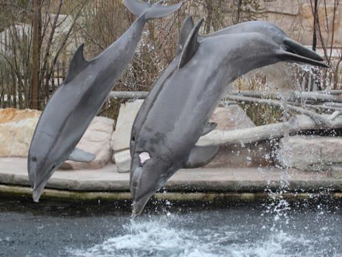 Moby kann immer noch mit den jungen Delfinen mithalten (Foto: Rüdiger Hengl)