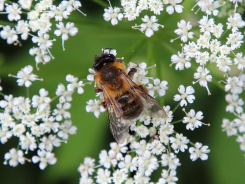 Biene auf einer Blüte (Foto: Rüdiger Hengl)