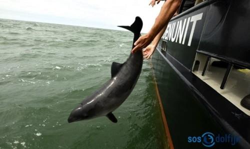 Dieser Schweinswal hat es geschafft. Er darf zurück ins Meer. (Foto: SOS Dolfijn)