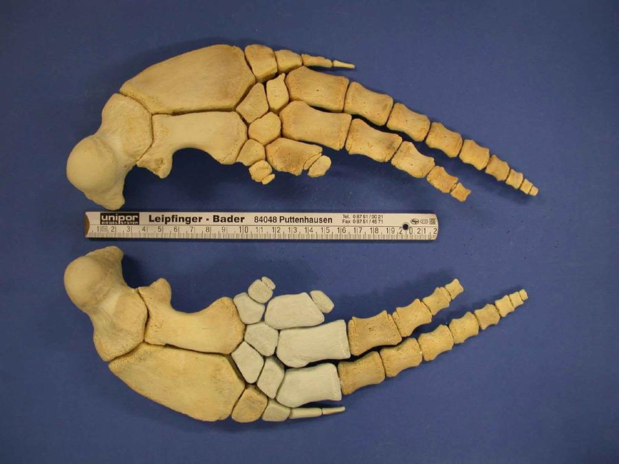 Das Skelett einer Delfinflosse Die hellen Teile sind die Mittelhandknochen. (Foto: Wolfgang Lechner)