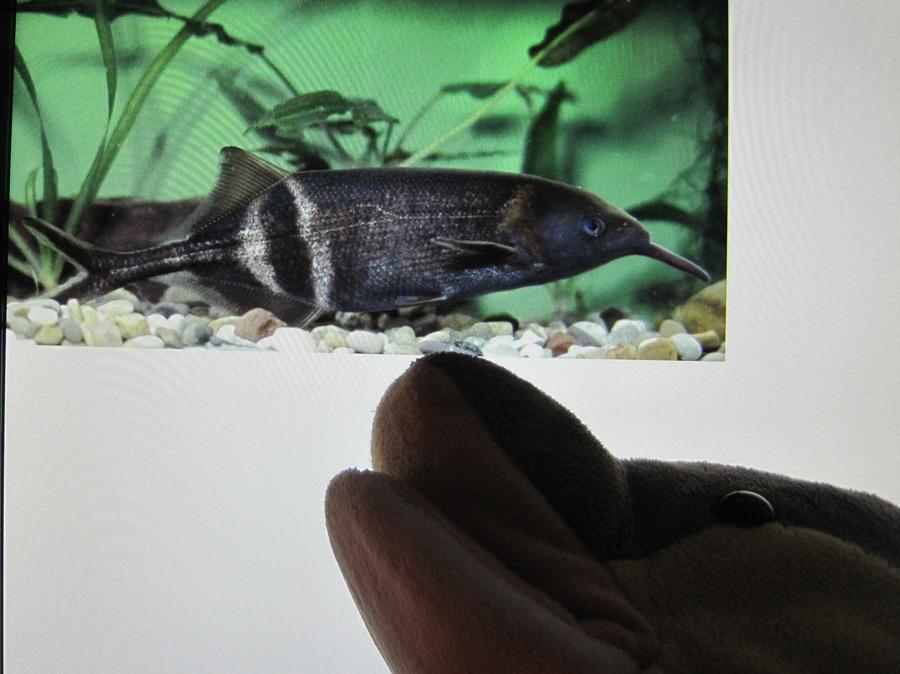 Elefantenrüsselfisch (Foto auf dem Bildschirm: Prof. Dr. Gerhard von der Emde)