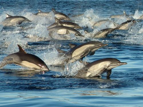 Eine große Schule Gemeiner Delfine (Foto: OCEANO)