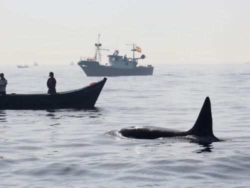 Orcas schnappen sich Fische von der Leine