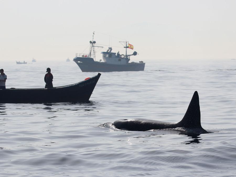 Ein Orca nähert sich einem Fischerboot. (Foto: Rüdiger Hengl)